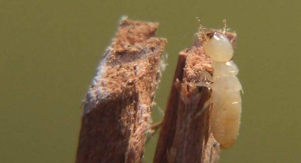 Израиль атакуют опасные термиты, которые быстро «съедают» дома и инфраструктуру