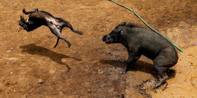 Банда диких свиней атаковала поезд под Биньяминой и парализовала ж/д движение