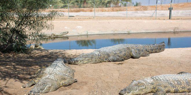 Арабский мальчик решил погладить крокодила на ферме в Араве и попал на хирургический стол